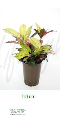 Codiaeum iceton - Croton iceton, Crozophyla