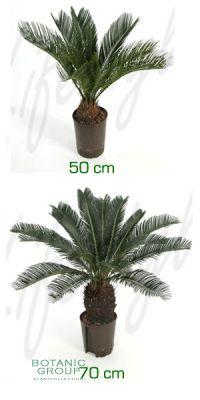 Cycas revoluta - Sago Cycad, Sago Palm
