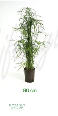Cyperus alternifolius - Umbrella Plant