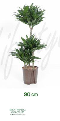 Dracaena compacta - Drachenbaum