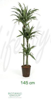 Dracaena deremensis drachenbaum mit stecken - Zimmerpflanze robust pflegeleicht ...