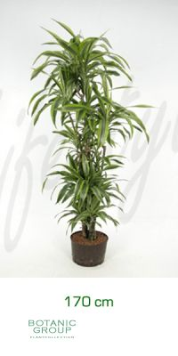 Dracaena lemon lime branched
