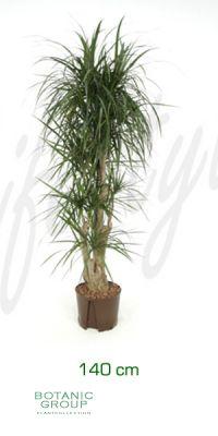 Dracaena marginata branched