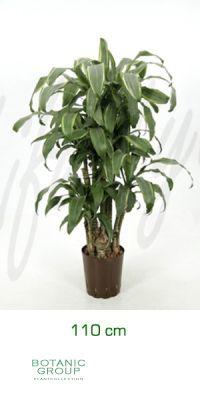 Dracaena santa rosa verzweigt - Drachenbaum