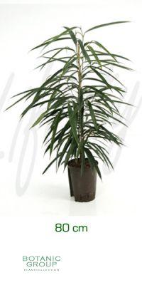 Ficus alii - Feigenbaum