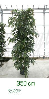 Ficus amstel king Busch