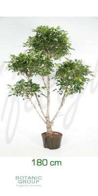 Ficus nitida branch