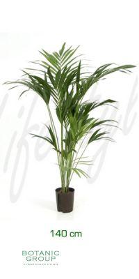 Howeia forsteriana - Kentia palm