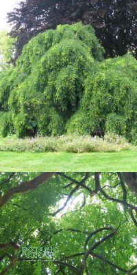 Sophora japonica Pendula - Japanischer Schnurbaum