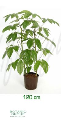 Schefflera amate - Schefflera, Strahlenaralie