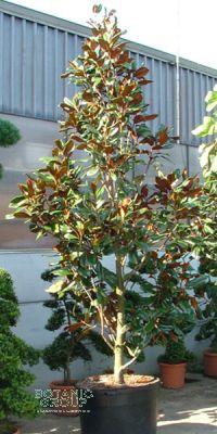 Magnolia grandiflora Ferruginea - Magnolie