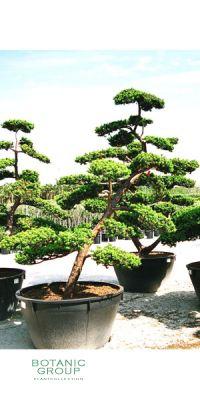 Taxus cuspidata Bonsai - Japanese Yew