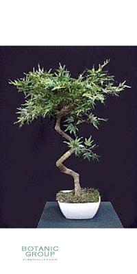 Kunstbaum - Aralia Japonica Tischmodell ohne Topf
