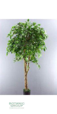 Kunstbaum - Ficus benjamina giganteum