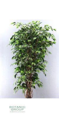 Kunstbaum - Ficus Benjamini Multitrunk
