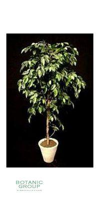 Kunstbaum - Ficus Benjamini Lianen