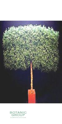 Artificial Tree - Boxwood hedge on trunk