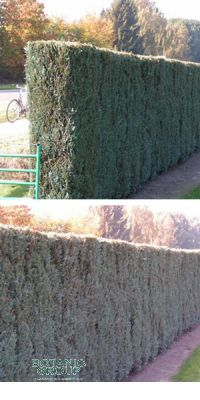 Chamaecyparis lawsoniana Columnaris -  Lawsons Cypress