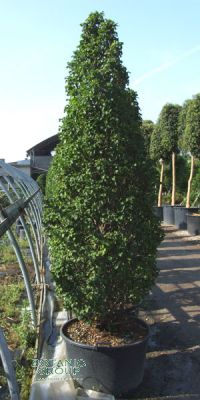 carpinus betulus fastigiata monument s ulen hainbuche. Black Bedroom Furniture Sets. Home Design Ideas