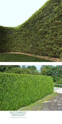 Thuja plicata Atrovirens - Riesenlebensbaum