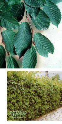 Carpinus betulus - European Hornbeam