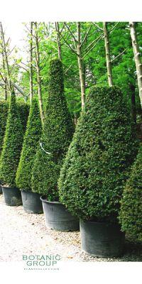 Carpinus betulus Fastigiata - Säulen Hainbuche
