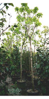 catalpa bignonioide nana trompetenbaum. Black Bedroom Furniture Sets. Home Design Ideas