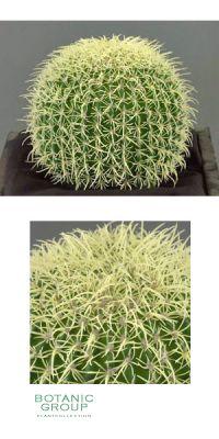 Artificial Cactus, Echinocactus grusonii