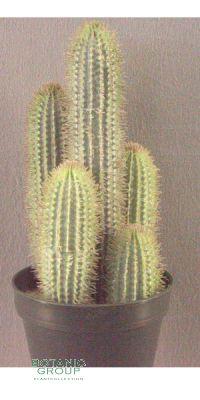 Künstlicher Kaktus, Fingerkaktus