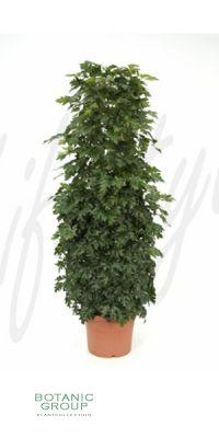 Cissus rhombifolia Ellen Danica