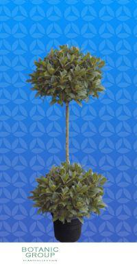 Laurus nobilis - Echter Lorbeerbaum Doppelkugel