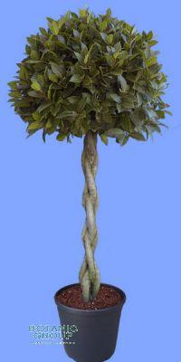 Laurus nobilis - Echter Lorbeerbaum geflochtener Stamm