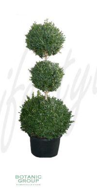 Buxus sempervirens Rotundifolia - 3 Kugel- Schnitt