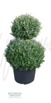 Buxus sempervirens Rotundifolia - 2 Kugel- Schnitt