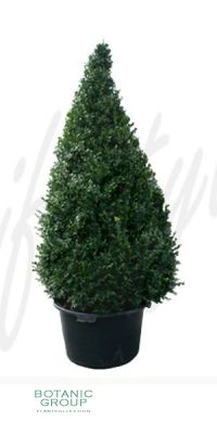 Buxus sempervirens Rotundifolia - Kegelschnitt