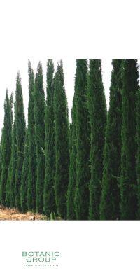 Cupressus sempervirens Pyramidalis - Italienische Zypresse XXL
