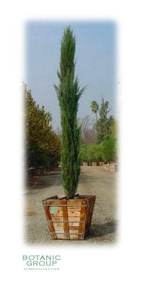 Cupressus sempervirens Pyramidalis - Italian Cypress
