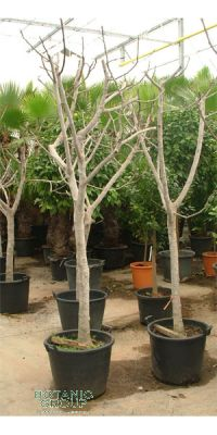 Ficus carica - Genuine Fig