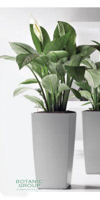 Spathiphyllum figaro im Pflanzgefäß