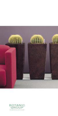 Echinocactus grusonii im Pflanzgefäß