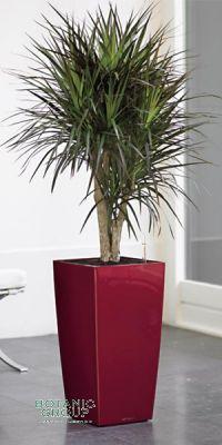 Dracaena marginata in a Planter