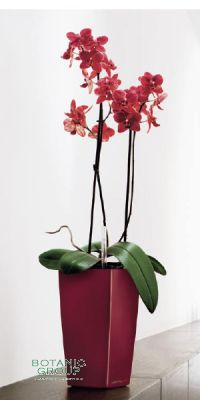 Phalaenopsis - Orchidee im Pflanzgefäß