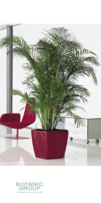 Chrysalidocarpus lutescens - Areca Palme im Pflanzgefäß