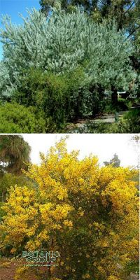 Acacia - thorntrees, wattles (div. Species)