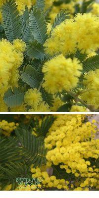 Acacia - Akazie (versch. Sorten)