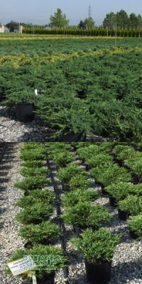 Juniperus - Wacholder verschiedene Sorten