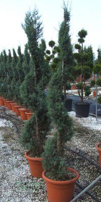 Cupressus macrocarpa Goldcrest- Monterey- Zypresse, Spirale