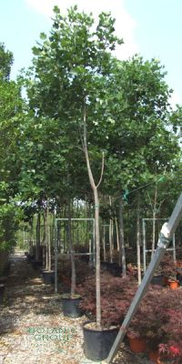 Liriodendron tulipifera - Amerikanischer Tulpenbaum