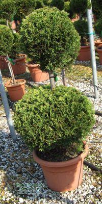 Cupressocyparis leylandii Gold Rider- Leyland Cypress, spiral