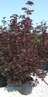 Acer platanoides Crimson Sentry - Säulen Blut- Ahorn